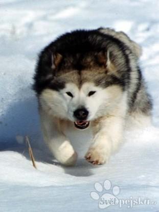 Pejsci - Plemena psů - Aljašský malamut d12eed0985
